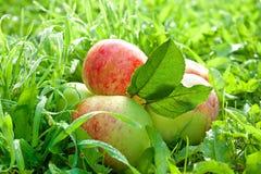 La frutta matura, mele rosse e succose si trova su un'erba verde Immagine Stock Libera da Diritti