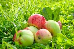 La frutta matura, mele rosse e succose si trova su un'erba verde Immagini Stock Libere da Diritti