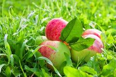 La frutta matura, mele rosse e succose si trova su un'erba verde Immagine Stock