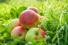 La frutta matura, mele rosse e succose si trova su un'erba verde Fotografie Stock Libere da Diritti