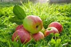 La frutta matura, mele rosse e succose si trova su un'erba verde Immagini Stock