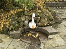 La fuente del cisne en Catherine Park de Pushkin Fotografía de archivo