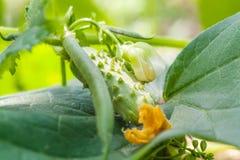 La génétique un concombre avec le haricot Photo stock
