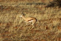 La gacela africana aprisa se escapa de peligro Fotos de archivo