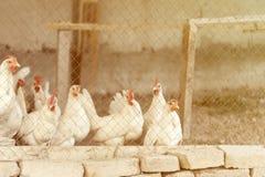 La gallina bianca domestica di strato con la cresta rossa ha tonificato l'immagine Immagine Stock