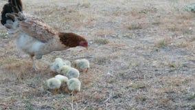 La gallina con i pulcini trova l'alimento stock footage