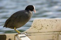 La gallina de agua de Agugliastra del pájaro imagen de archivo