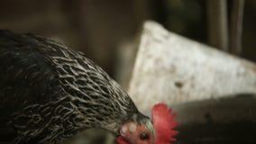 La gallina nera beve l'acqua e lo sguardo alla macchina fotografica, sull'azienda agricola stock footage