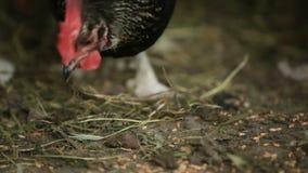La gallina nera mangia il grano dalla terra, su un'azienda agricola video d archivio