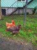 La gallina picotea la hierba verde Fotos de archivo
