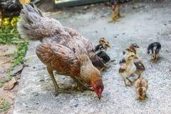 La gallina porta i pulcini trova l'alimento fotografia stock