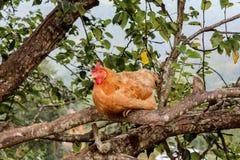 La gallina rossa della gamma libera roosted su un ramo di albero a Kathmandu, Nepal immagine stock