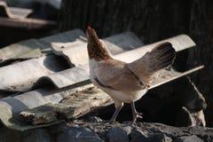 La gallina sta stando sulla pietra Immagine Stock Libera da Diritti