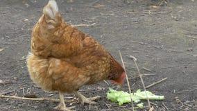 La gallina sull'azienda agricola sta mordendo l'alimento Azienda avicola stock footage