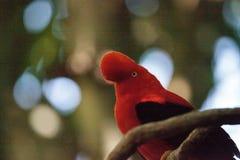 La Gallo-de--roca andina llamó el peruvianus de Rupicola imagen de archivo libre de regalías