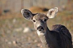La gama joven de los ciervos mula mira vacilante en la cámara imagenes de archivo