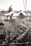 La gama libre cultivó el cerdo, Gisborne, Nueva Zelanda imagenes de archivo