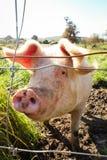 La gama libre cultivó el cerdo, Gisborne, Nueva Zelanda imagen de archivo