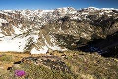 La gamme alpine de beartooth de montagnes fleurit la toundra Photo stock