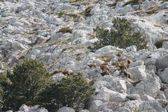 La gamuza (rupicapra del Rupicapra) Fotos de archivo
