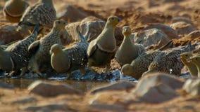 La ganga masculina arrebata una bebida y recoge el agua para sus polluelos Usando especialmente, adaptó plumas del pecho él puede fotos de archivo