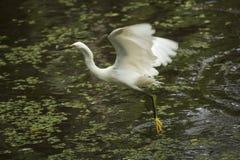 La garceta nevada vuela con un pescado en su cuenta, la Florida Imagen de archivo