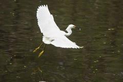 La garceta nevada vuela con un pescado en su cuenta, la Florida Fotografía de archivo libre de regalías