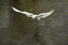 La garceta nevada vuela con un pescado en su cuenta, la Florida Imagen de archivo libre de regalías