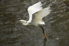 La garceta nevada vuela con un pescado en su cuenta, la Florida Fotos de archivo libres de regalías