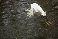 La garceta nevada vuela con un pescado en su cuenta, la Florida Imágenes de archivo libres de regalías