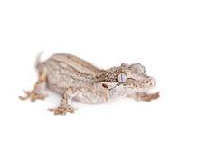 La gargouille, nouveau gecko inégal calédonien sur le blanc photographie stock