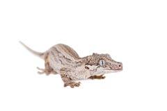La gargouille, nouveau gecko inégal calédonien sur le blanc photo stock