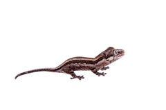 La gargouille, nouveau gecko inégal calédonien sur le blanc images libres de droits