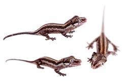 La gargouille, nouveau gecko inégal calédonien sur le blanc photos stock