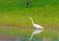 La garza blanca caza pescados en un río Fotografía de archivo