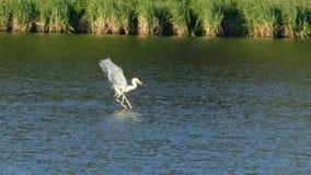 La garza con los pescados en el pico que vuela sobre el lago almacen de video