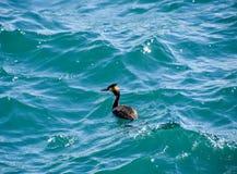 La garza flota en la agua de mar waterfowl Imagen de archivo libre de regalías