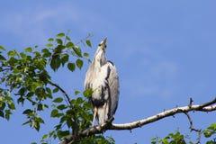 La garza gris (Ardea cinerea) que se sienta en un árbol en Alemania y toma el sol en el sol de la tarde Imagenes de archivo