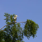 La garza gris (Ardea cinerea) que se sienta en un árbol en Alemania y toma el sol en el sol de la tarde Foto de archivo libre de regalías