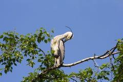 La garza gris (Ardea cinerea) que se sienta en un árbol en Alemania y toma el sol en el sol de la tarde Imagen de archivo libre de regalías
