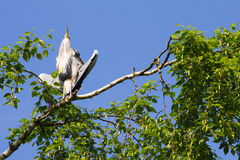 La garza gris (Ardea cinerea) que se sienta en un árbol en Alemania y toma el sol en el sol de la tarde Imagen de archivo
