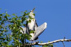 La garza gris (Ardea cinerea) que se sienta en un árbol en Alemania y toma el sol en el sol de la tarde Fotos de archivo