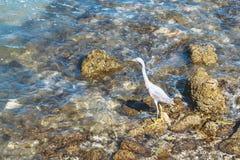 La garza gris joven camina a lo largo de la costa pedregosa fotografía de archivo