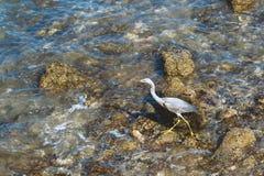 La garza gris joven camina a lo largo de la costa pedregosa imagenes de archivo