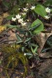 La gaulthérie repérée fleurit, été en conserve de Belding, Ver Image stock