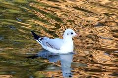 La gaviota blanca hermosa flota en el wather Imagenes de archivo