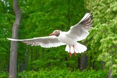 La gaviota del lago seagulls vuela en el aire contra la perspectiva de los árboles verdes del Forest Park Imagen de archivo libre de regalías