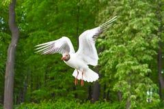 La gaviota del lago seagulls vuela en el aire contra la perspectiva de los árboles verdes del Forest Park Imagen de archivo