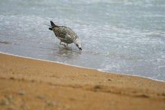 La gaviota del polluelo se coloca en el agua y la bebida en la orilla del mar Foto de archivo libre de regalías