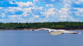 La gaviota del vuelo Imagen de archivo libre de regalías